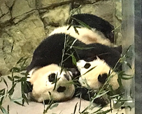 Mei Xiang (born 7/22/98) and Bei Bei (born 8/22/15)