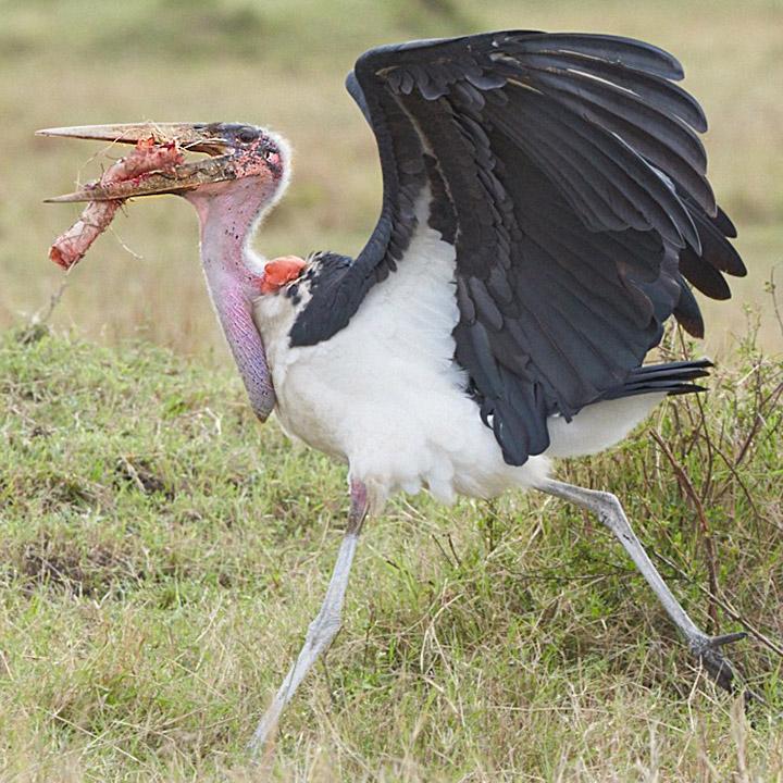 Marabou Stork 103